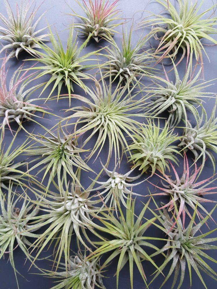 Tillandsie jsou broméliovité rostliny tzv. air plants