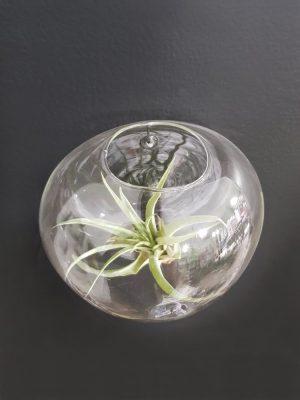 Terárium na zeď je ručně foukané sklo tvaru koule, která je z jedné části sploštělá tak, aby dobře přilnula ke zdi. Jednoduše ho zavěsíte na zeď na skobu.