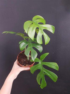 Monstera Minimaje zjednodušený název pro rostlinuRaphidophora tetrasperma, pocházející z Thajska a Malajsie. Nesprávně je řazena mezi Philodendrony.